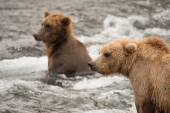Two bears fishing for salmon in river — Stock Photo