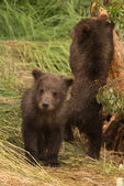 Bear cub looking at camera beside another — Stock Photo