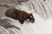Brown bear with salmon in its mouth — Foto Stock