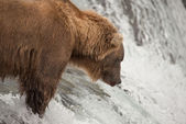 Close-up of bear salmon fishing on waterfall — Stock Photo