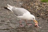 Seagull pecking at salmon chunk in shallows — Stock Photo