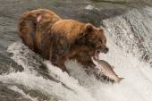 Bear about to catch salmon in mouth — Stock Photo