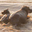 Постер, плакат: Hippo and her calf wading through river