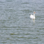 Swan on pond — Stock Photo #61211689