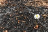 White flower survive on ash of burnt grass — Stock Photo