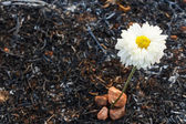 Flower survive on ash of burnt grass — Stock Photo