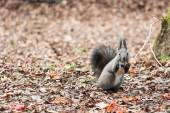 Squirrel is eating dry leaf — Stock Photo