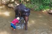 Thai elephant was take a bath with mahout (elephant driver , elephant keeper )in Maesa elephant camp ,  Chiang Mai , Thailand — Stock Photo