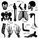 Постер, плакат: Collection Human Skeleton