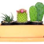 Cactus ( Pereskia , Echinocactus , Opuntia )  isolated backgroun — Stock Photo #65364365
