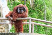 Bornean orangutan(Pongo pygmaeus) in Thailand ( Found it at Borneo island , Sumatra island in Indonesia ) — Stock Photo