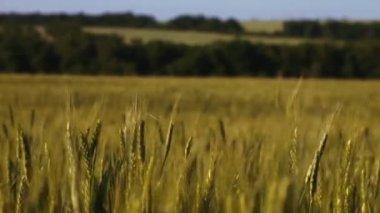 Ripe ears of wheat swaying in the wind in the field. — Stock Video