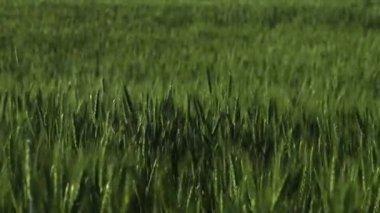 Verdes espigas de trigo balançando ao vento. — Vídeo stock