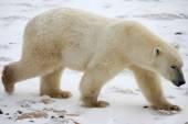 Urso polar — Fotografia Stock