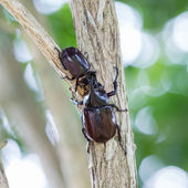 Big horned beetle on tree in nature — Stock Photo