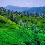 Beautiful tea estate — Stock Photo #55133625