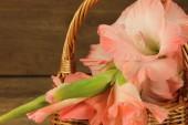 Pink gladiola — Stock Photo