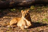 Vrouwelijke Leeuw — Stockfoto