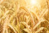 Field of yellow wheat in sun rays — Stock Photo