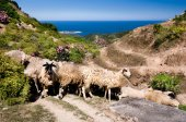Sheep in the mountains  in Sithonia, Greece — Stock Photo