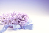 Purple hyacinth on gradient background — Stock Photo