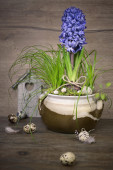 Delicate blue hyacinth on wooden background — Stock Photo