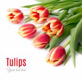 Red stripy tulips — Stock Photo
