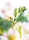 Young freesia flower stem — Stock Photo