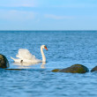 White swan swimming in the sea — Stock Photo #73307857