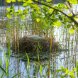 White swan on the nest — Stock Photo #76016221