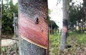 Kauçuk ağacı — Stok fotoğraf