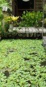 Wooden bridge with aquatic plant in pond — Stock Photo