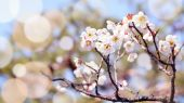 Plum blossom in japan — Photo
