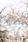 Plum blossom in japan — Stock Photo
