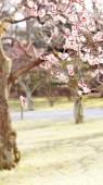 Plum blossom in japan — Stock Photo