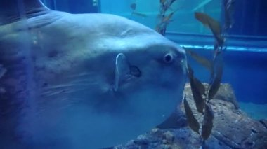 Oceanic sunfish (Mola mola) — Stock Video
