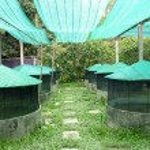 Frog farm set up with shading — Stock Photo #74487175