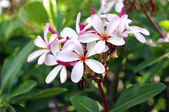 Tropical pink flower — Stock Photo