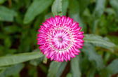 Colorful strawflower — Stock Photo