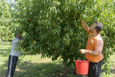 Workers collecting peaches from trees at the factory of Agricult — Stock Photo