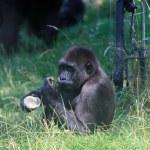 Black gorilla in Arnhem Zoo — Stock Photo #52562213