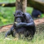 Chimpanzee in Arnhem Zoo — Stock Photo #52563077