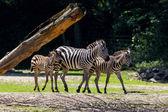 アーネム動物園でシマウマ — ストック写真