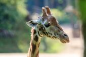 Giraffe in Arnhem Zoo — Stock Photo