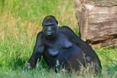 Black gorilla in Arnhem Zoo — Stock Photo