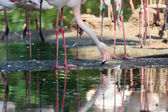 Flamingo bird in Arnhem Zoo. — Stock Photo