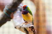 Colorful bird in Arnhem Zoo. — Stock Photo