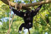 Chimpanzee in Arnhem Zoo — Stock Photo