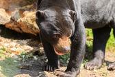 Black Bear in Arnhem Zoo. — Stock Photo