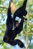 Chimpanzee with baby in Arnhem Zoo — Stock Photo